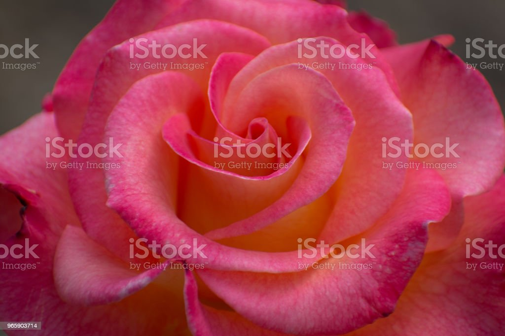 Rose in Bloom in the Hills of Malibu, Califonia - Royalty-free Anniversary Stock Photo