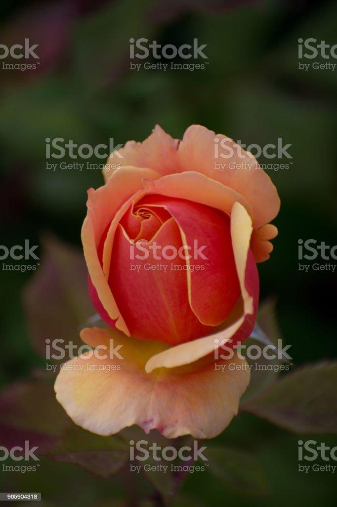 Rose in Bloom in the Hills of Malibu, Califonia - Royalty-free Amor Foto de stock