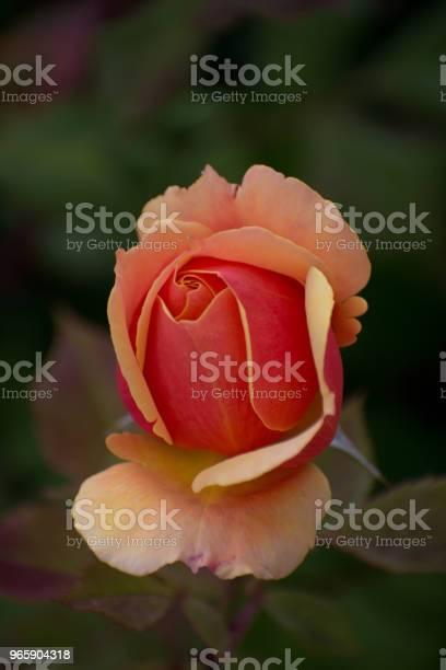 Rose In Bloom In The Hills Of Malibu Califonia - Fotografias de stock e mais imagens de Amor