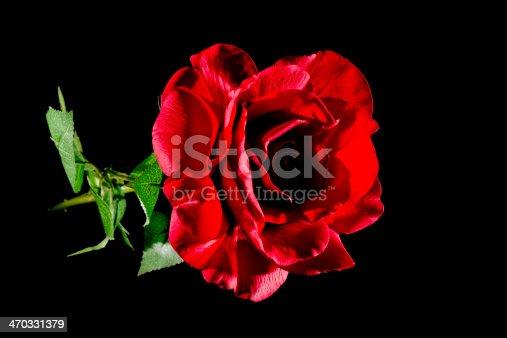 155139080istockphoto Rose In Darkness 470331379