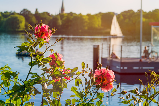 Rose in front of Alster on evening light with white sailboat and pier in background. Chilling atmosphere in Hamburg on weekend