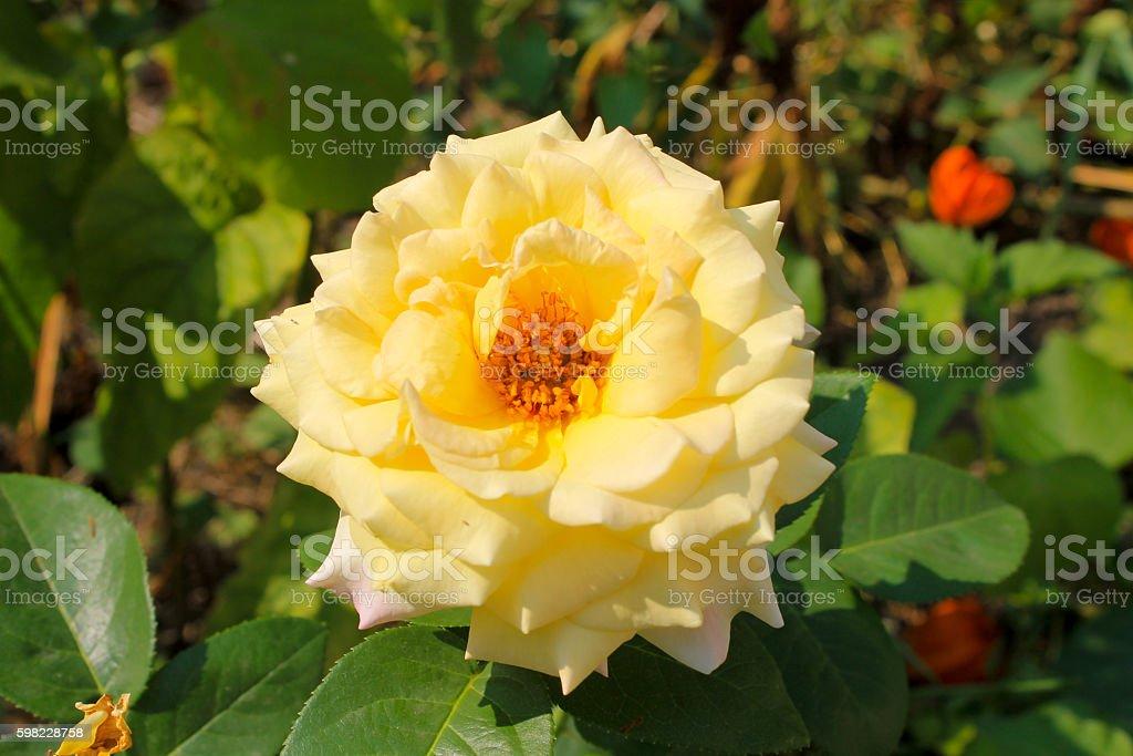 Rose no jardim  foto royalty-free