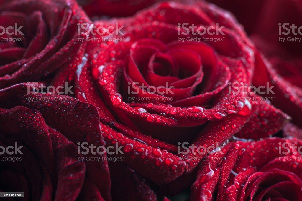 Rose in macro royalty-free stock photo
