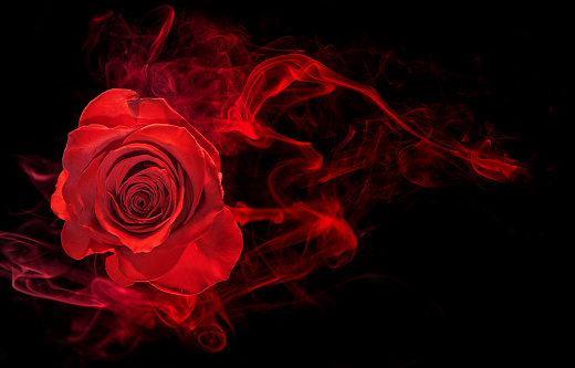 Flowers: Red Rose Isolated on White Background