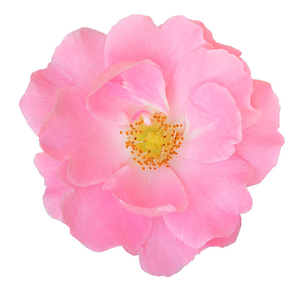 Rose isolated - inclusive clipping path Rose isolated on white background inclusive clipping path wild rose stock pictures, royalty-free photos & images
