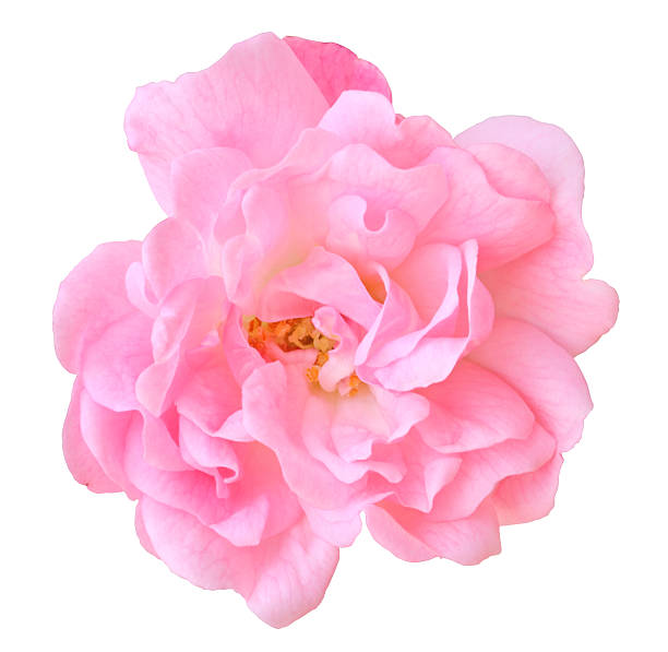 Rose isolated - inclusive clipping path Rose isolated on white background inclusive clipping path. wild rose stock pictures, royalty-free photos & images