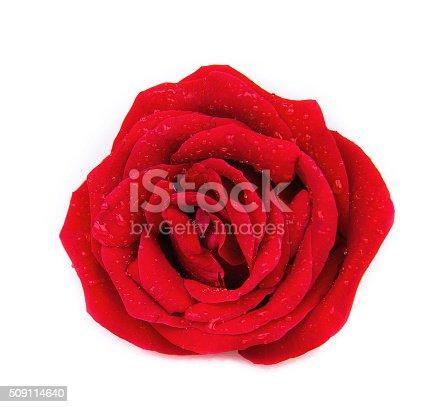 istock rose isolated on white background 509114640