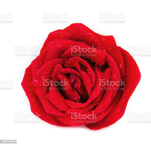Rose isolated on white background picture id509114640?b=1&k=6&m=509114640&s=612x612&h=a 5p1rdr7xekcpmhziwpj froiubotkssrruxbnqkgo=