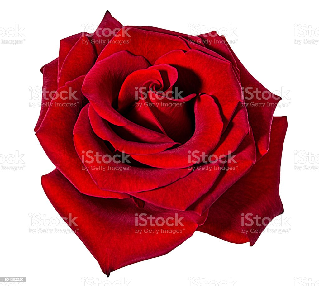Rose geïsoleerd op wit - Royalty-free Bloem - Plant Stockfoto