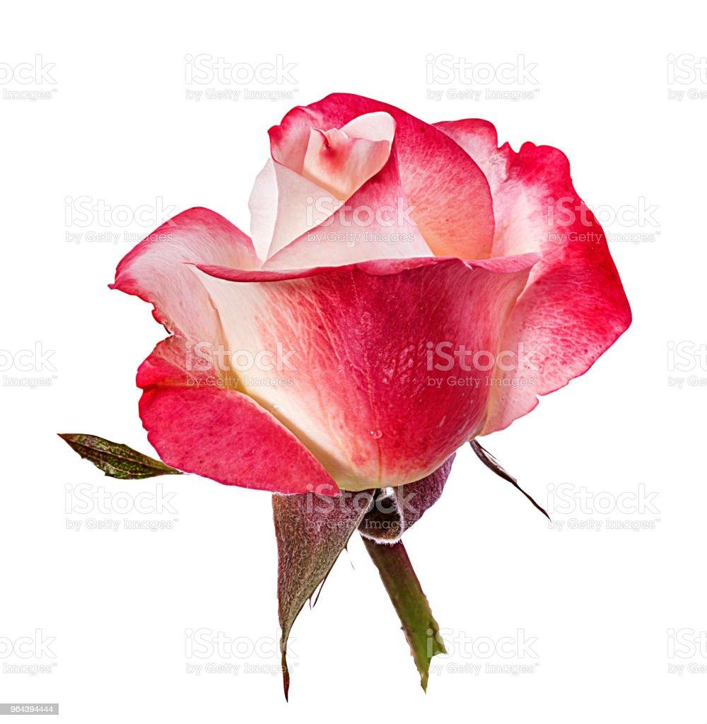 Rosa isolada no branco - Foto de stock de Amor royalty-free