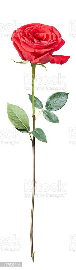 Rose, Isolated (XXXL) stock photo