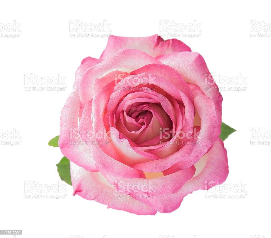 Rose isolated stock photo