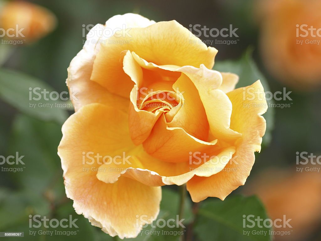 Rose, Jersey. royalty-free stock photo