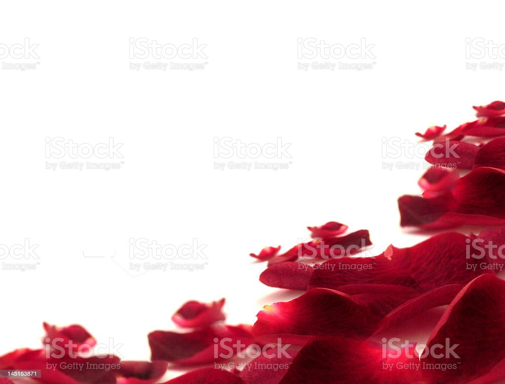 rose leaf stock photo