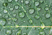 A rose leaf with raindrops on its surface.
