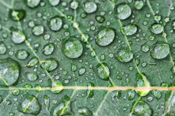 Rose leaf with rain drops stock photo
