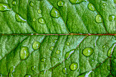 istock Rose leaf with raindrops 1152200969