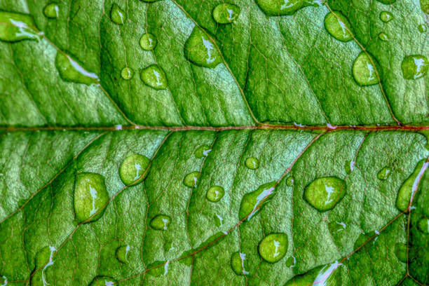 Rose leaf with raindrops stock photo