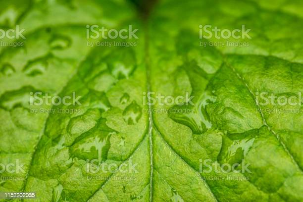 Photo of Rose leaf with raindrops