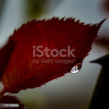 A rose or beech leaf with a water droplet on the edge.