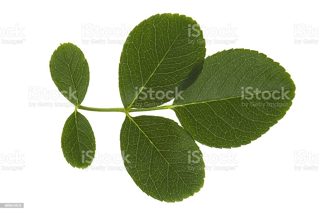 rose leaves royalty-free stock photo