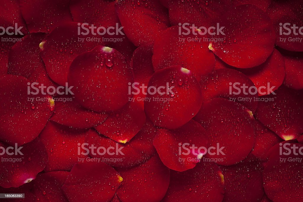 Rose leaves with water drops royalty-free stock photo