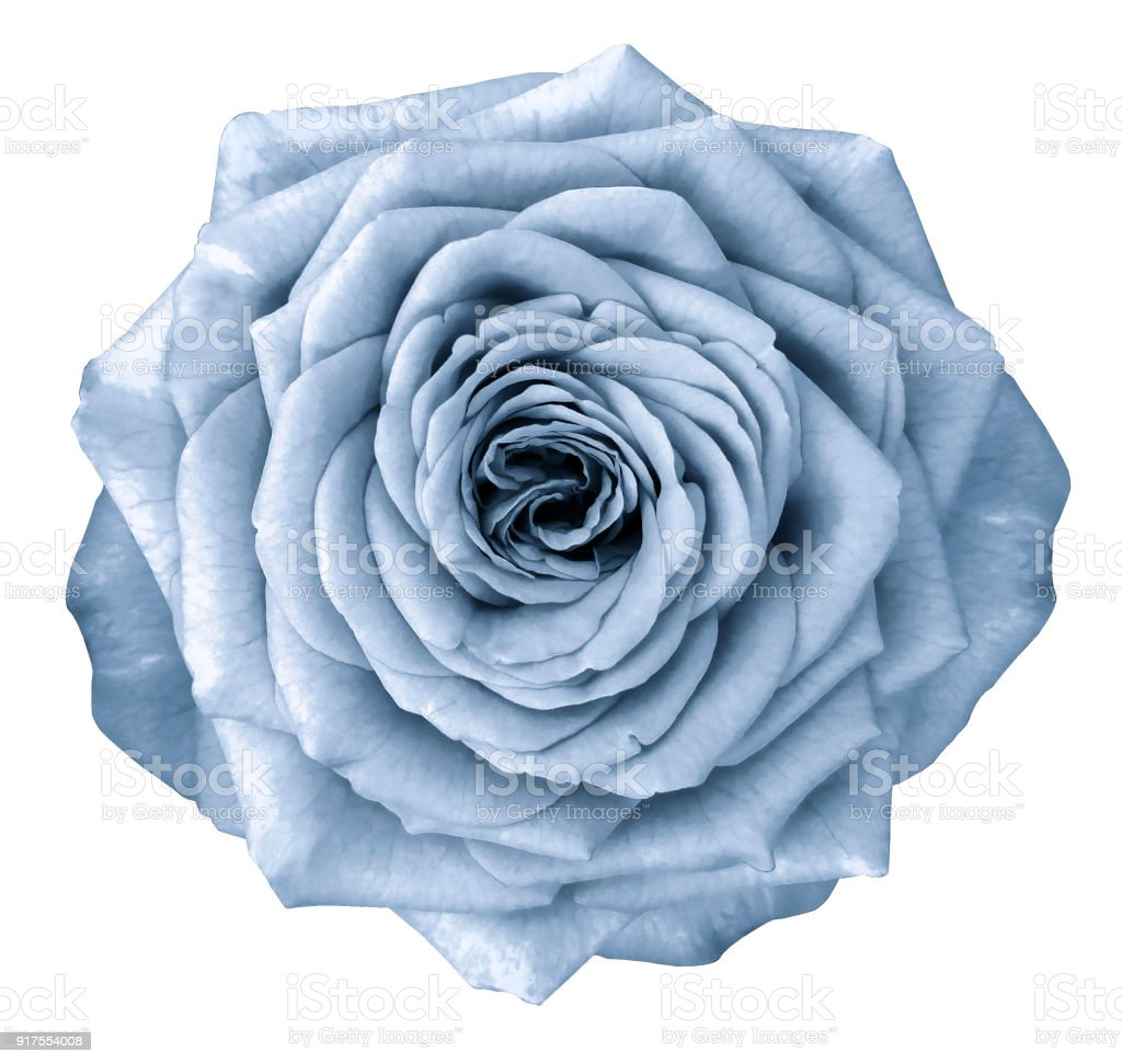 Rose Light Blue Flower On White Isolated Background With Clipping