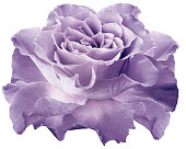 istock Rose light purple.  flower on white isolated background with clipping path. Closeup.  For design. Nature. 1205883269