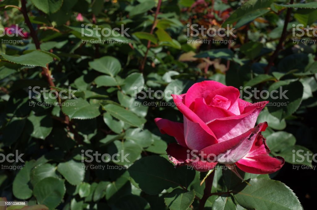 Rose Light Red And White Acapella Stock Photo - Download Image Now