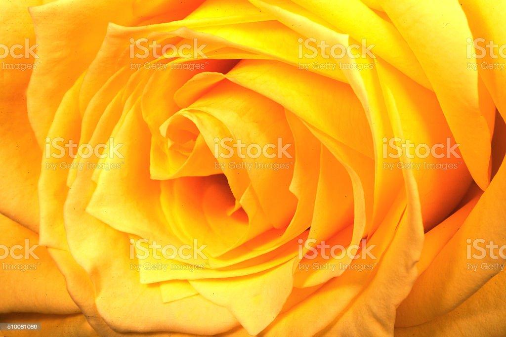 Rose Macro - foto de acervo
