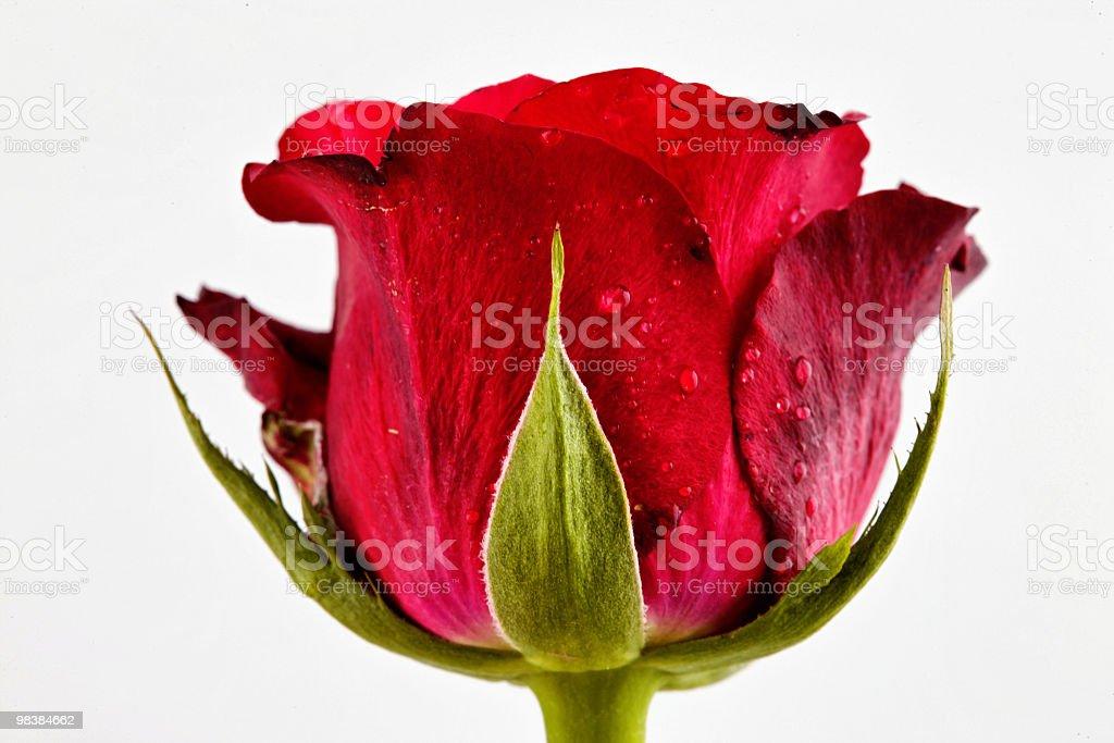 Rose macro royalty-free stock photo