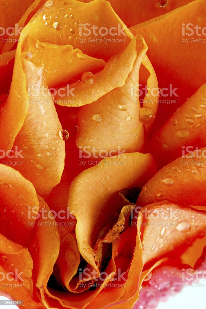 Rose macro with water drops royalty-free stock photo