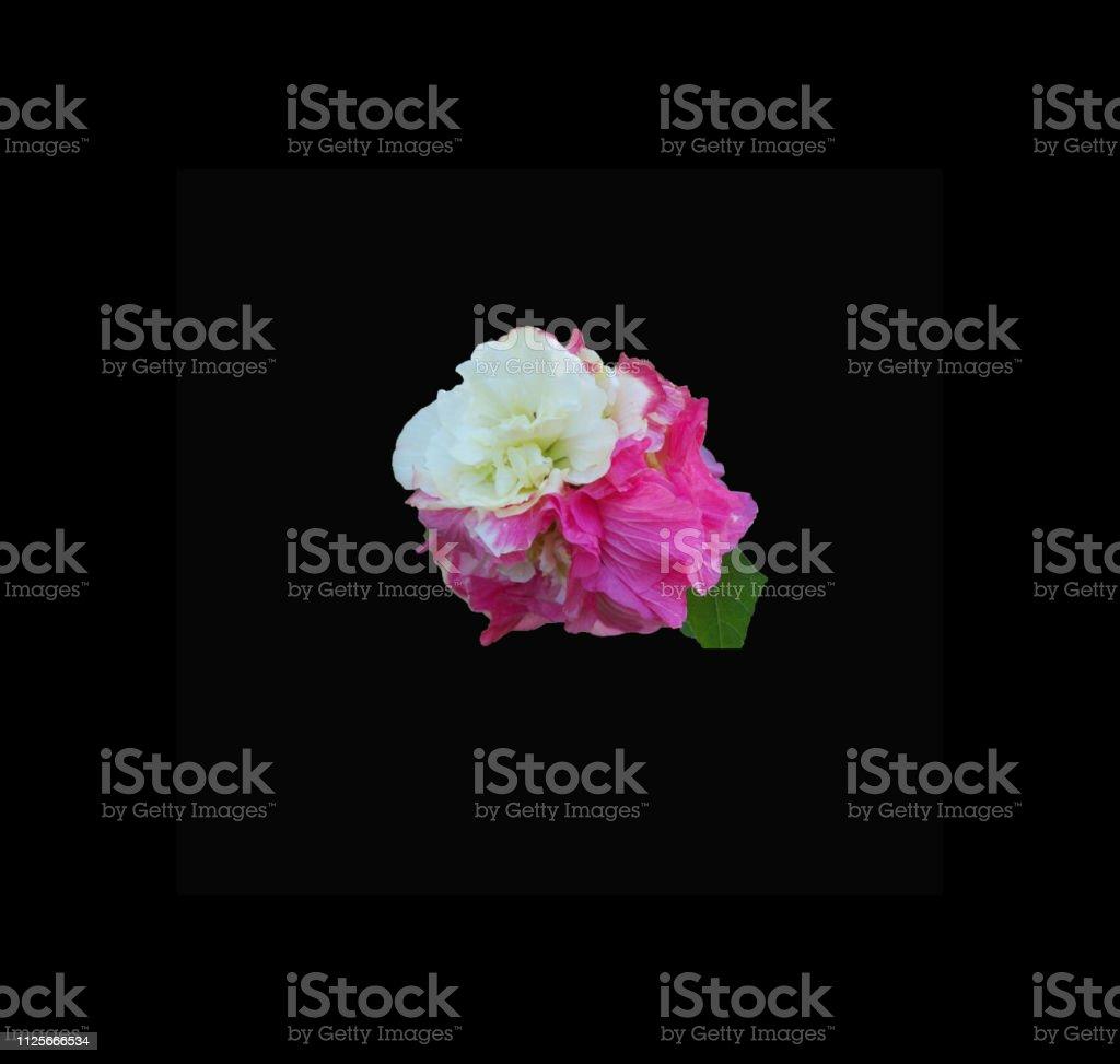 Rose Mallow on black background stock photo