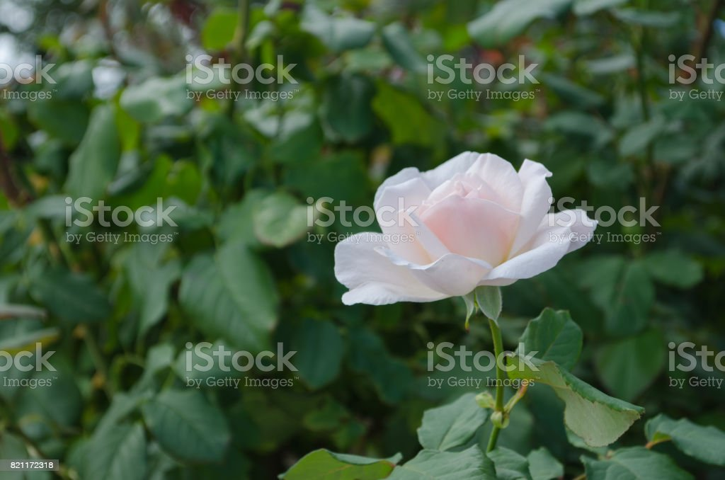 Rose of pink stock photo
