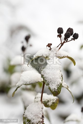 Rose of Sharon Hibiscus syriacus covered in snow in a garden in winter, England, United kingdom