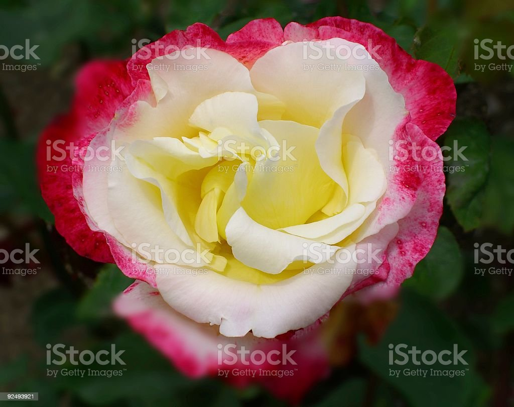 Rose Of Three Colors royalty-free stock photo