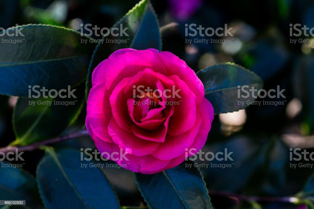 Rose of winter, Camellia closer stock photo