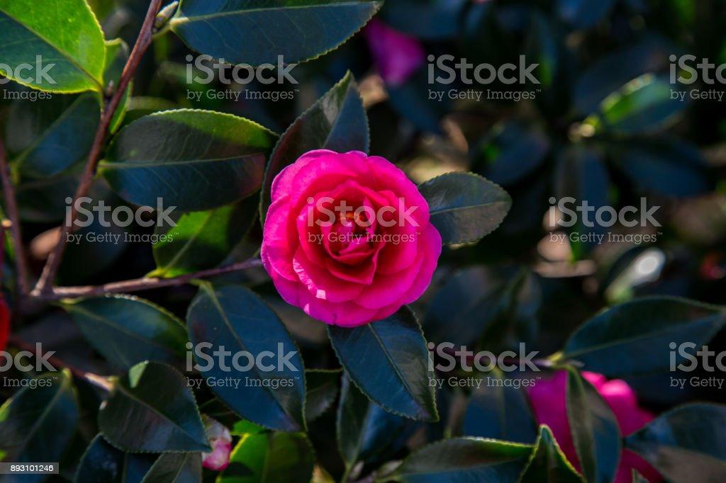 Rose of Winter, Camellia stock photo