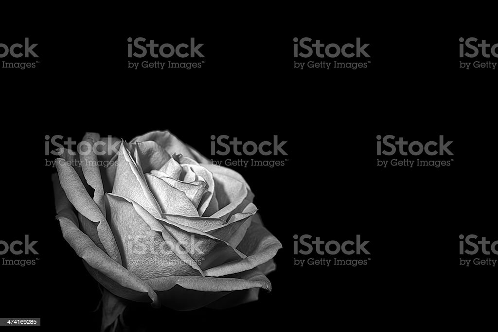 Rose on black background stock photo