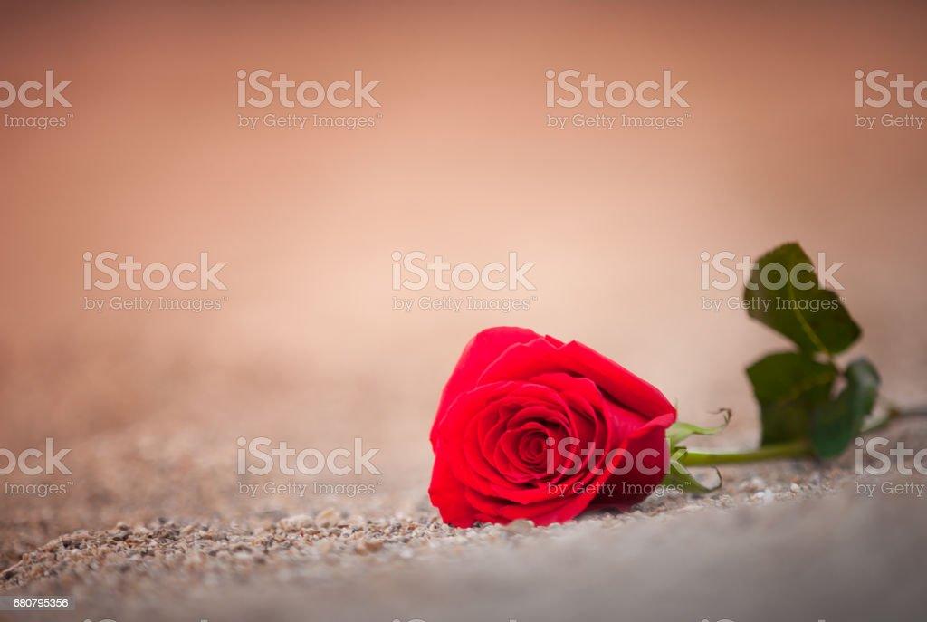 Rose on the beach stock photo