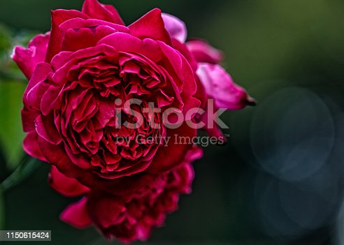 Rose on the branch with defocused background