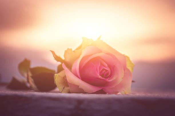 Rose am Boden – Foto