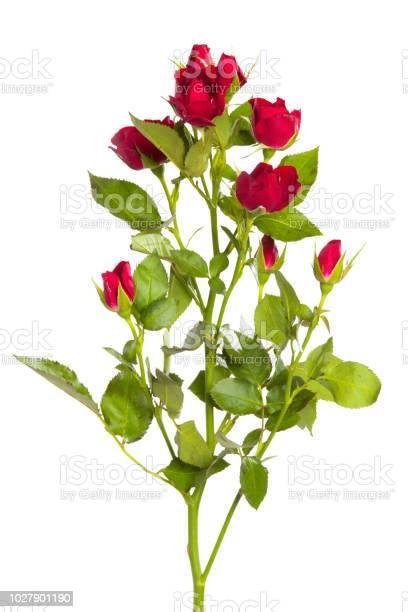 Rose on white background picture id1027901190?b=1&k=6&m=1027901190&s=612x612&h=8sh2wsgr3jidrekonk4vepvrcpptpzqmvd9kp thw2y=