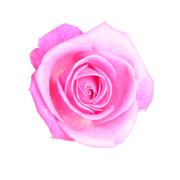 Rose on white background Flower on white background. Pictures for Flower store or you craft working wild rose stock pictures, royalty-free photos & images