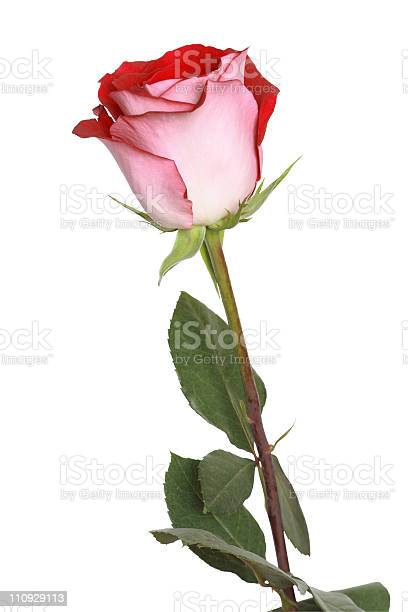 Rose on white picture id110929113?b=1&k=6&m=110929113&s=612x612&h=ye5lomswvuznypwo4qecvtgk0d17stjlkvgh9csdlew=