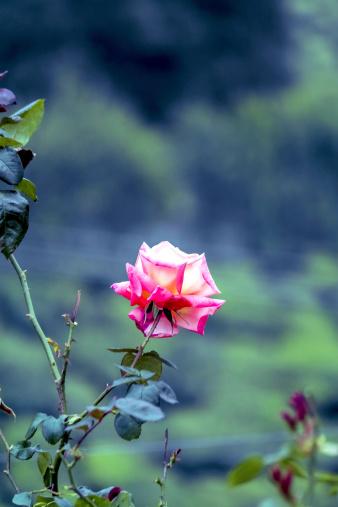 Beautiful rose overlooking Munnar Tea Plantation
