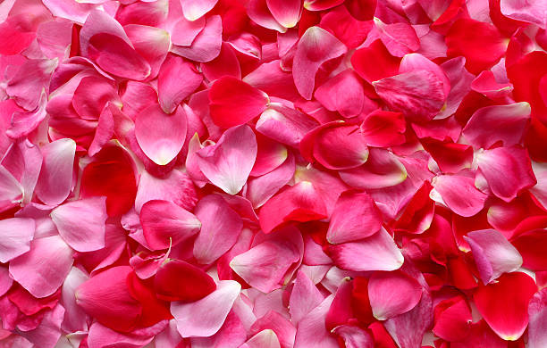 rose petal background - rose petals stock pictures, royalty-free photos & images