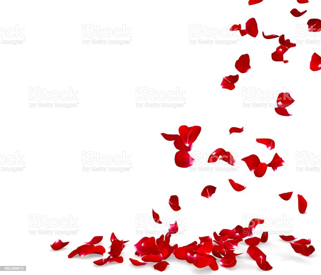 Rose petals fall to the floor foto stock royalty-free