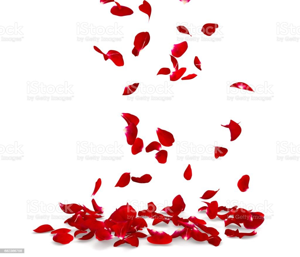 Rose petals fall to the floor zbiór zdjęć royalty-free