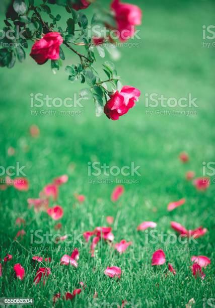 Rose petals falling to the ground picture id655053204?b=1&k=6&m=655053204&s=612x612&h=c5f06ce575vkpqohrqvblnmhofopemtjl7xklqj qiu=